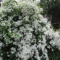 цветение маньчжурского клематиса