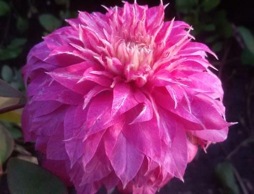 цветок клематиса кайзер