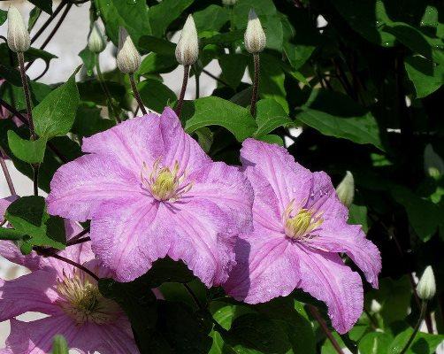 цветок клематиса комтесс де бушо