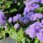 цветы агератума Блю Минк