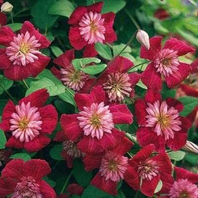 цветы клематиса авангард
