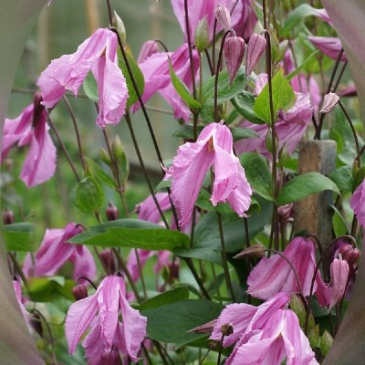 цветы клематиса аленушка