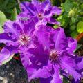 цветы клематиса президент
