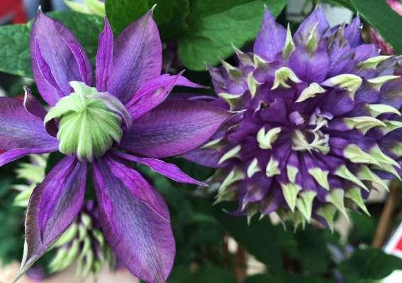 цветы клематиса тайга