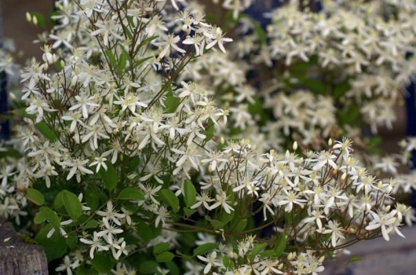 цветы клематис маньчжурский