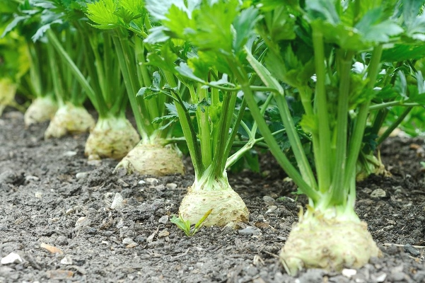 выращивание корневого сельдерея в ОГ