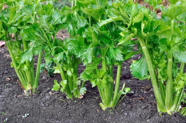 выращивание черешкового сельдерея в открытом грунте