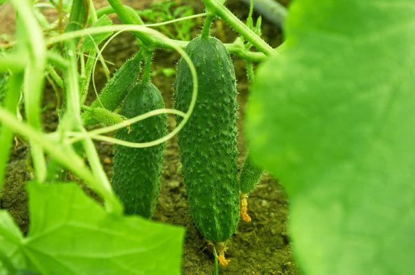 огурцы директор выращивание