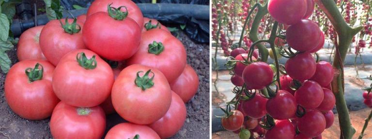 описание томата розовая жемчужина