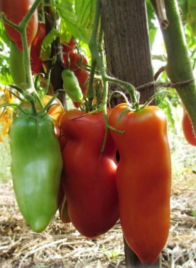помидоры жемчужина сибири