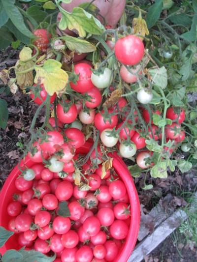 помидоры розовая жемчужина