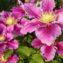 простые цветки клематиса пиилу
