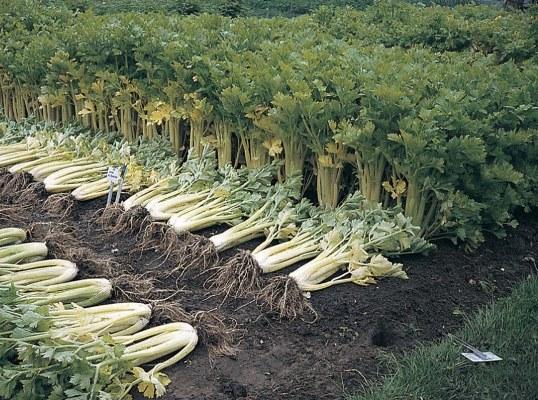 сельдерей стеблевой выращивание