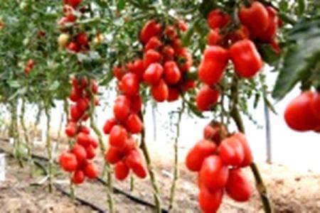 томаты жемчужина сибири характеристика