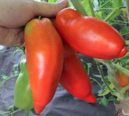 томат жемчужина сибири