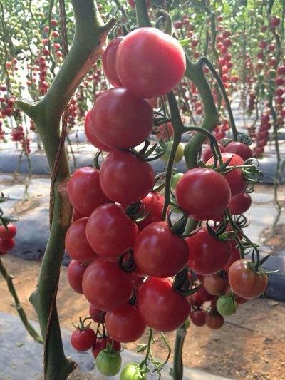 томат розовая жемчужина