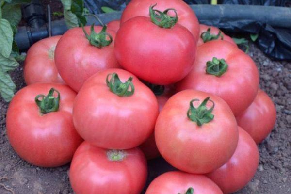 урожайность томата розовая жемчужина