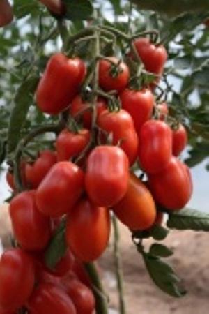 урожай томата жемчужина сибири