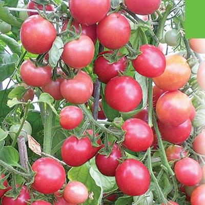 фото томата розовая жемчужина
