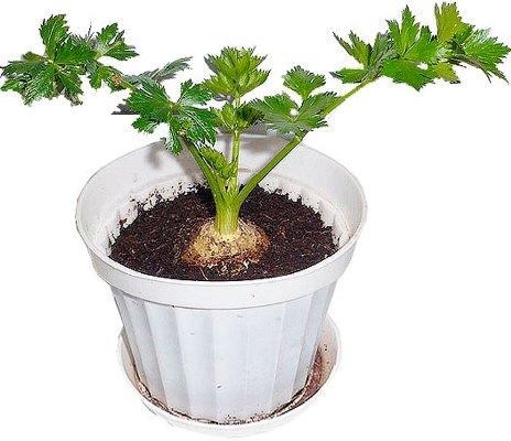 выращивание корневого сельдерея дома