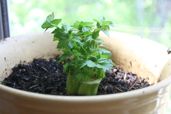 выращивание черешкового сельдерея в домашних условиях