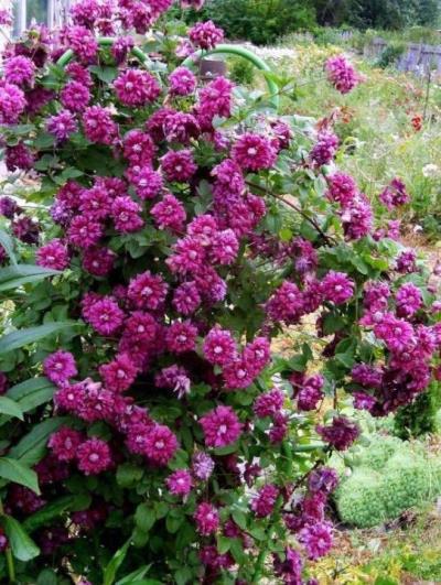как цветет клематис пурпуреа плена