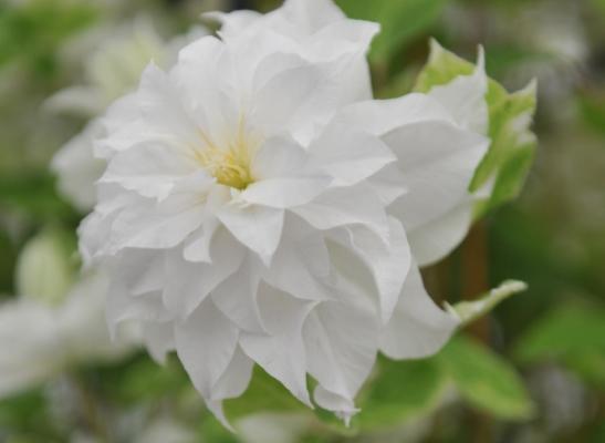 красивый цветок клематиса мария склодовская
