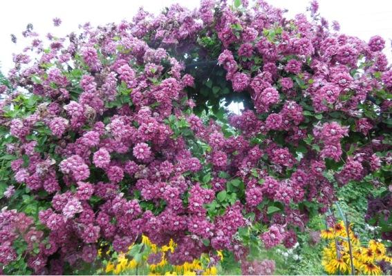 куст клематиса пурпуреа плена элеганс