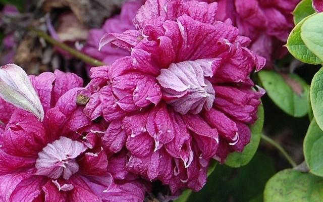 описание клематиса пурпуреа плена элеганс