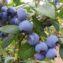 плоды голубики блюголд