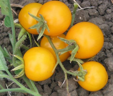 плоды томата желтая жемчужина