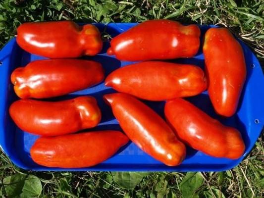 плоды томата хохлома