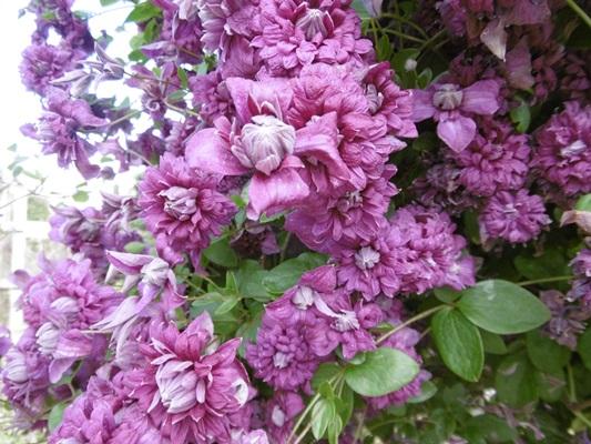 применение клематиса пурпуреа плена элеганс в дизайне