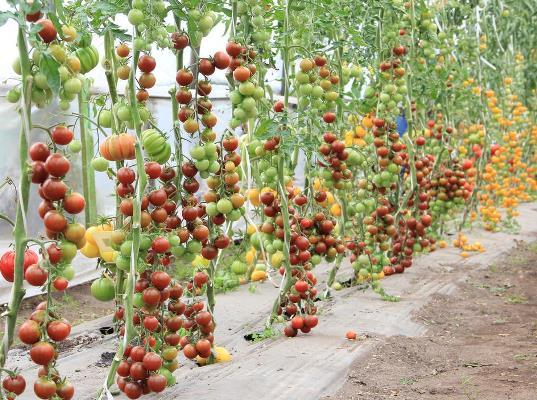 серия томатов жемчуг