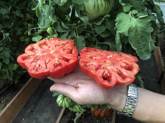 томат нина в разрезе