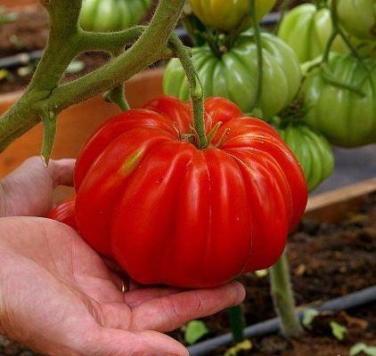 томат нина