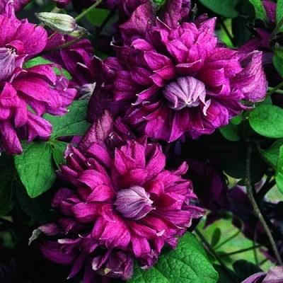 фото клематиса пурпуреа плена элеганс