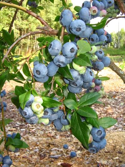ягоды голубики блюрей