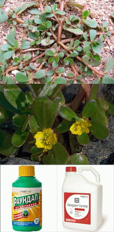как избавиться от портулака гербицидами