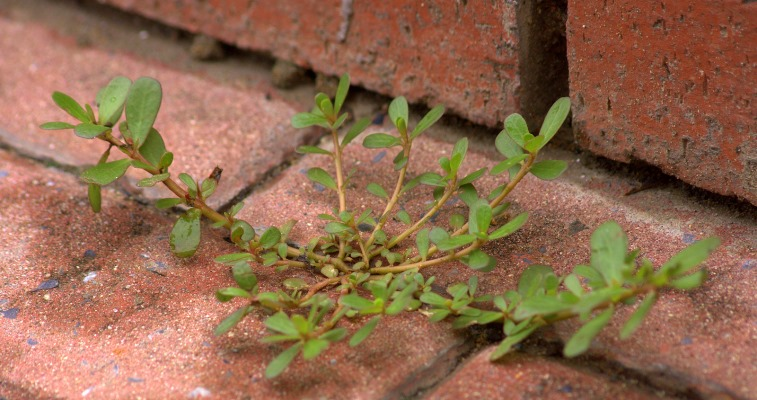 огородный сорняк портулак