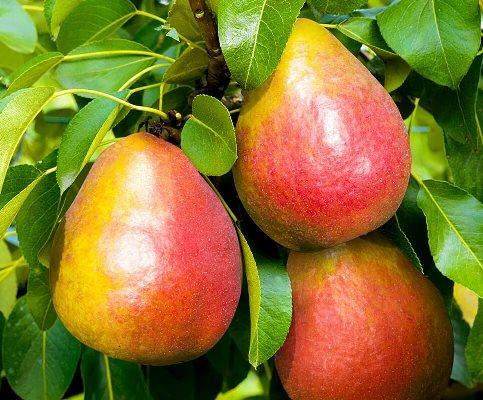 описание сорта груша радужная