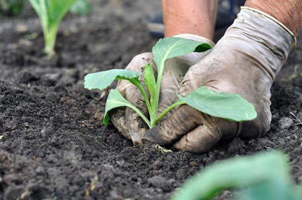 пересадка рассады капусты в грунт