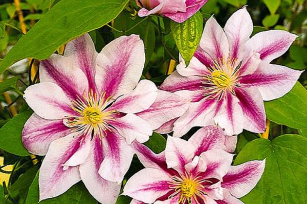 простой цветок клематиса андромеда