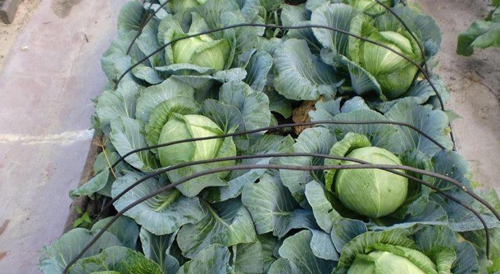 характеристика капусты ринда