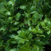 сельдерей листовой нежный