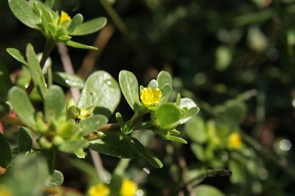 сорняк портулак огородный лечебные свойства