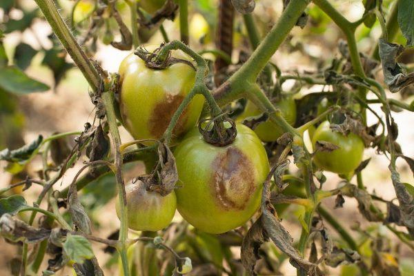 2 обработка томатов от фитофторы фурацилином