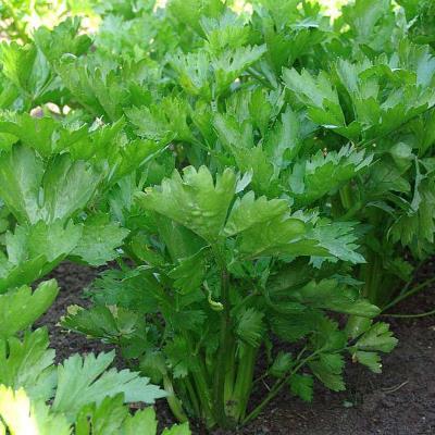 сельдерей нежный листовой выращивание