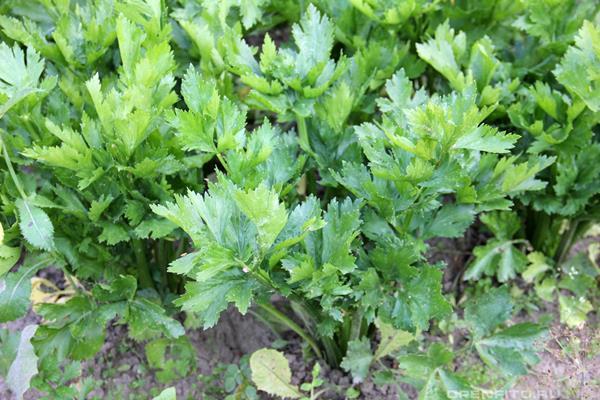 сельдерей листовой нежный выращивание из семян