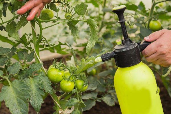 5 как фурацилином обработать помидоры от фитофторы